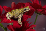 Western green toad on red flowers