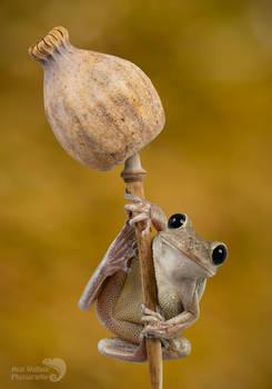 Cuban tree frog on poppy seed head