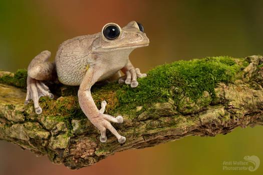 Cuban tree frog on a log