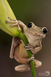 Just hanging around - Cuban tree frog