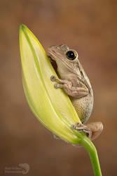 Cuban tree frog on lily bud