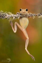 Happy Cuban tree frog climbing
