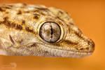 Annulated gecko headshot - macro