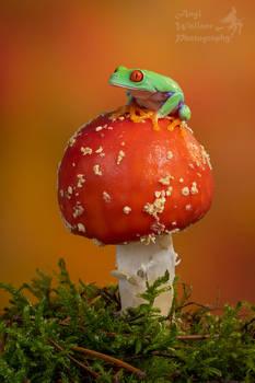 Red eyed tree frog on Fly agaric mushroom
