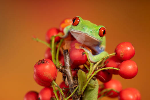 Red eyed tree frog on red berries