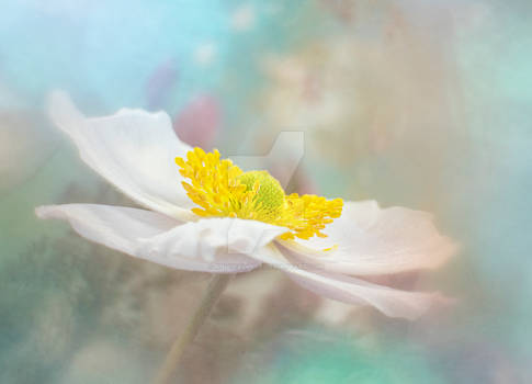 Dreamy Anemone