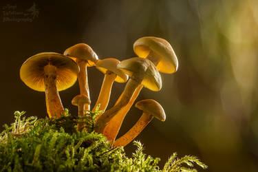 Sulphur tuft mushrooms lit up