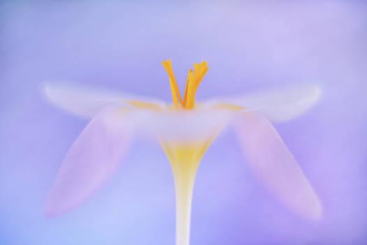 Crocus swan