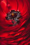 Red Ranunculus ruffled layers