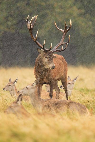 [Image: Red_Deer_In_The_Rain_by_nitsch.jpg]