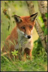 Juvenile Red Fox by nitsch