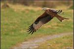 Gigrin Farm - Red Kite IV