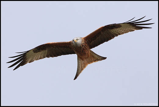 Red Kite VII