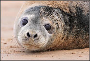 Juvenile Grey Seal by nitsch
