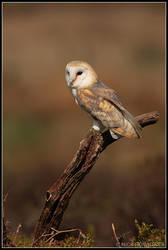 Perching Female Barn Owl