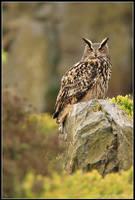 Moorland Eagle Owl by nitsch