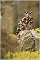 Moorland Eagle Owl