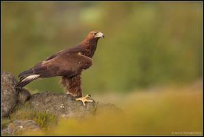 Male Golden Eagle II by nitsch