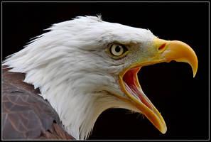 Bald Eagle Portrait by nitsch
