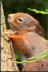The Sleepy Red Squirrel