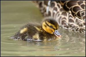 Fuzzy Duck IV by nitsch