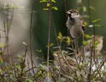 sparrow 03