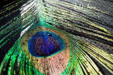 peacockfeather with waterdrops 2