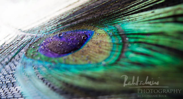 peacockfeather with waterdrops 3