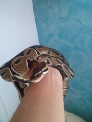 Chico the ball python 2 by natsukah