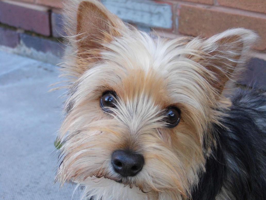 West Highland Terrier Mix Puppies Yorkie-Westie Mix by b...