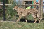 COLZ 082115 - Cheetah Stock 09