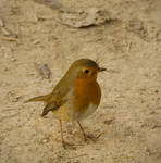robin bird by indelirium