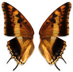 ambre wings