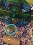 My dwarf hamster Rockie #2 by bribridash413