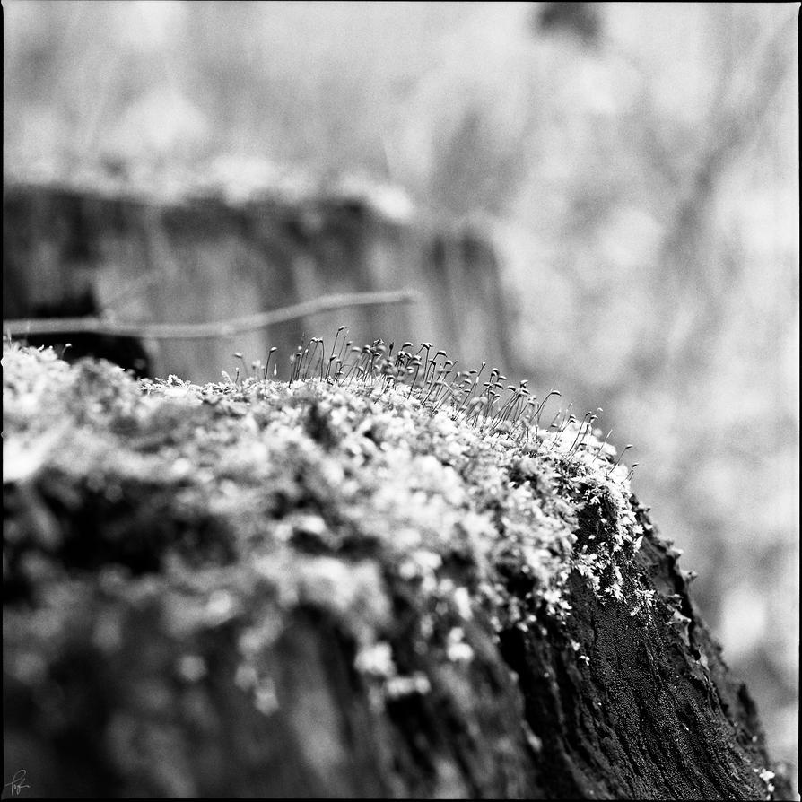 Moss by karlomat
