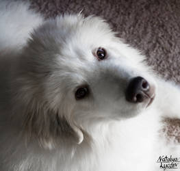 Amon can be cute!  Great Pyrenees 4 Months by NatalyaLycan