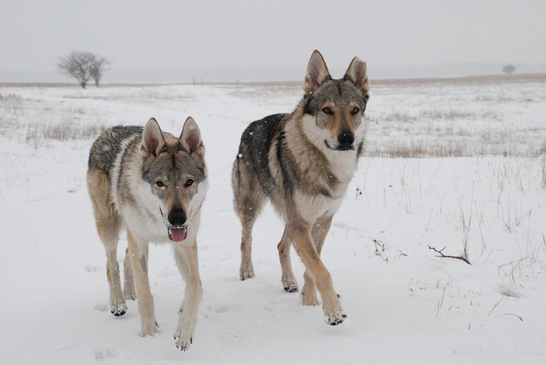 Silver czechoslovakian wolfdog - photo#25