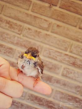 Grumpy the Sparrow