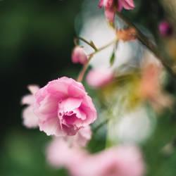 Rose-coloured Spring by dareme