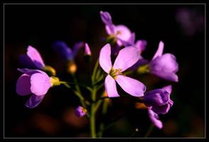 violet by LordSaddler