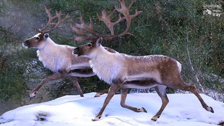 HiveWire Caribou/Reindeer