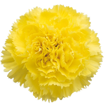 Yellow Carnation Flower 300
