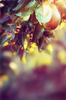 shining pear