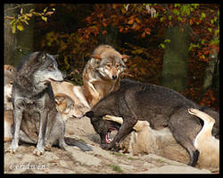 Wolf fight by AtelierKunz