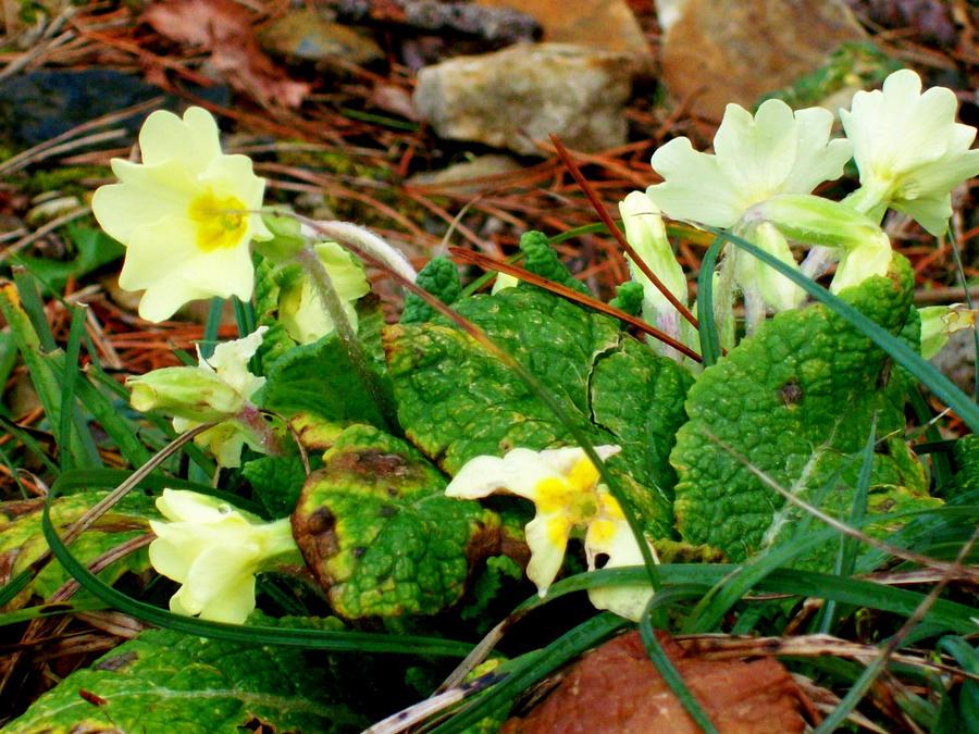 primroses by rubber lover on deviantart