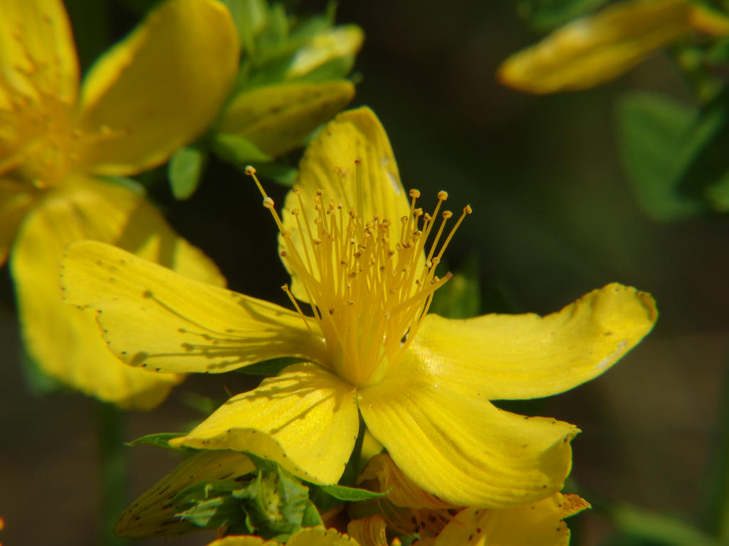 Common St. John's-wort by Irreelaa-Ingvarr