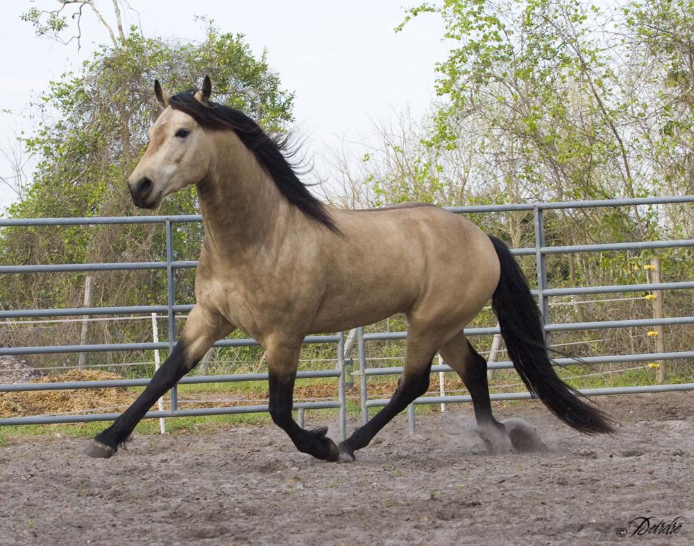 quarter horse buckskin - photo #34
