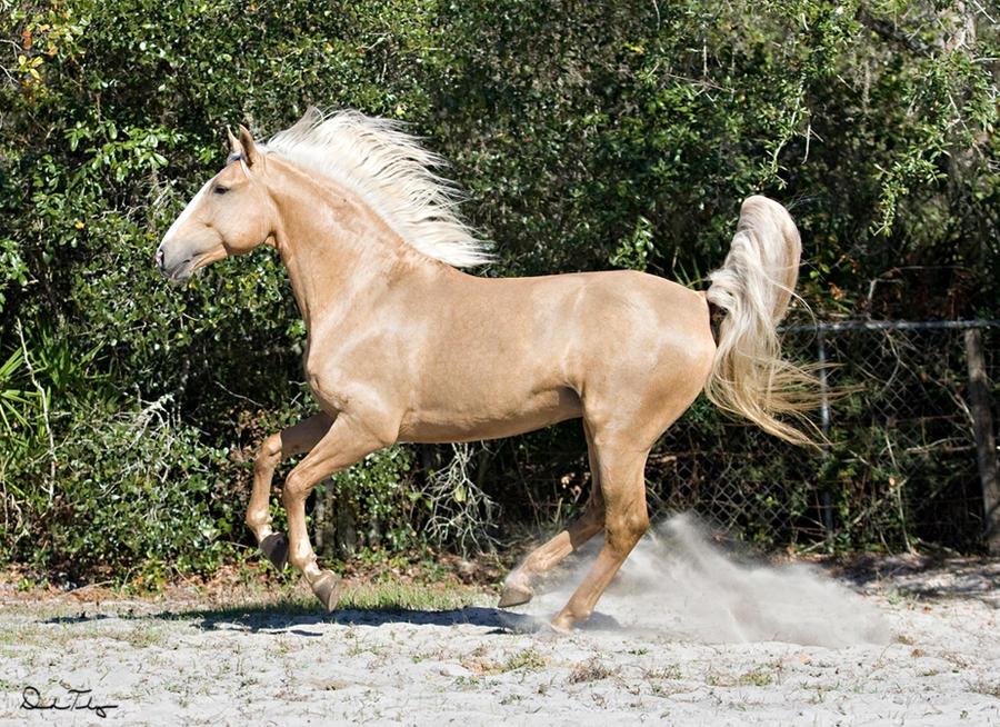 Buckskin horse canter stock 3 by buckleighh on DeviantArt