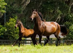Lusitano Mare and Filly