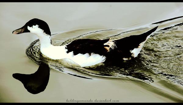 bebek berenang by holdingamanda